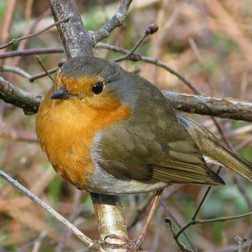 Robin on Hall Walk, Cornwal